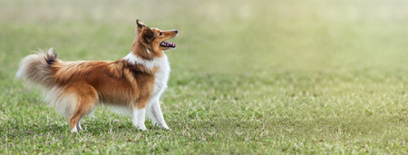 lassie: Website banner of a beautiful young dog