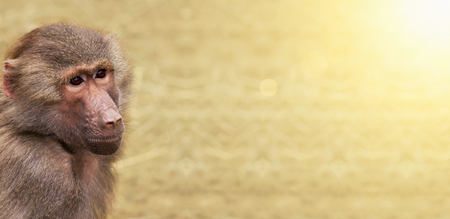 Animal zoo website banner of a baboon monkey with copy space