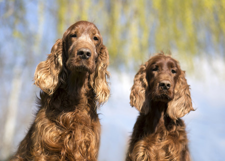 Funny Irish Setter dogs looking at the camera