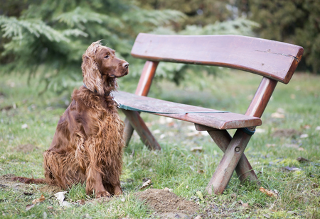 dog waiting: Beautiful Irish Setter dog waiting near a bench