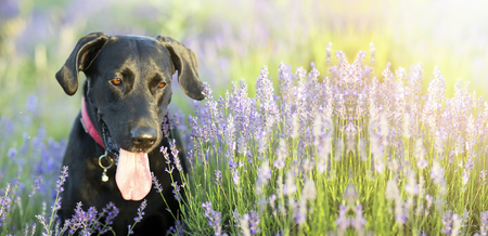 Website banner of a happy Labrador retriever dog with Lavender flowers