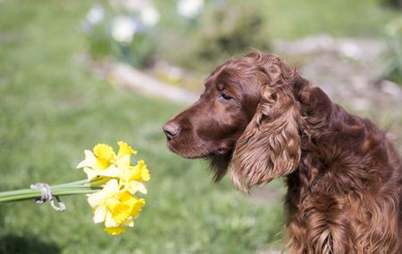 Beautiful Irish Setter dog smelling spring flowers Stock Photo