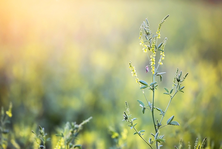 Pollen plants, blooming flowers, grass in summer Stock Photo