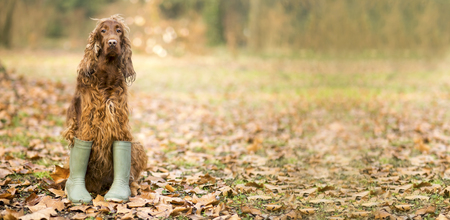 humor: Website banner background of a funny dog in the autumn leaves