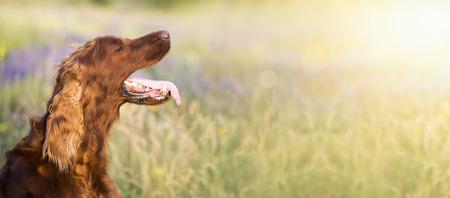 Panting Irish Setter dog in a hot Summer
