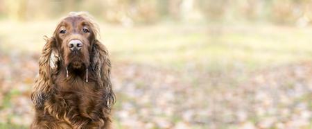 Drooling Irish Setter dog looking at the camera Stock Photo