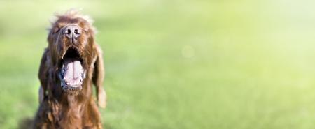 Funny Irish Setter dog smiling to the camera