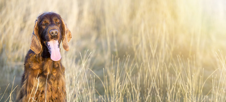 Web banner of a happy dog as smiling in the grass