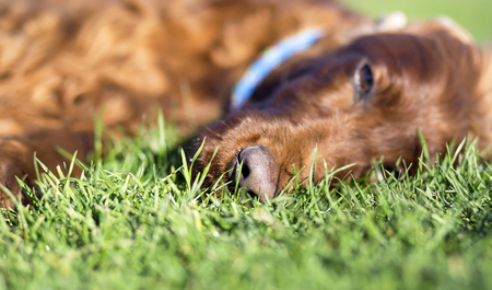 귀여운 졸린 아일랜드 세터 개가 풀밭에 누워 스톡 콘텐츠
