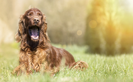 Funny yawning Irish Setter dog - banner with copy space Stock Photo