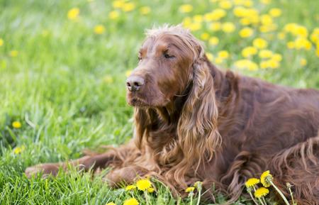 귀여운 졸린 게으른 강아지 ?? 민들레 꽃으로 풀밭에 누워