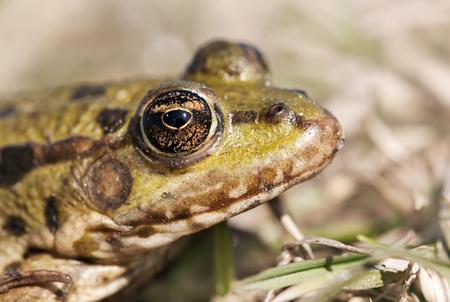 動物の醜さ - 緑のカエルの茶色の目 写真素材