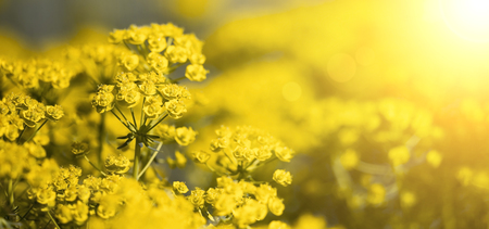 Springtime, spring forward concept - web banner of yellow flowers with copy space