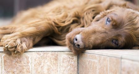 Close-up photo of a beautiful Irish Setter dog - web banner, friendship concept idea