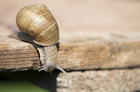 Slimy slow snail crawling on a wooden board Фото со стока