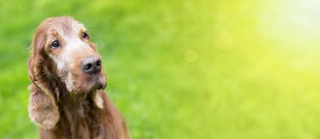 Web banner of a beautiful old Irish Setter dog