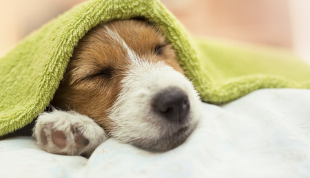 Cute Jack Russell terrier puppy dog sleeping after grooming and bath - web banner idea