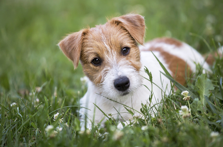 Happy Jack Russell terrier pet dog puppy looking in the grass 스톡 콘텐츠