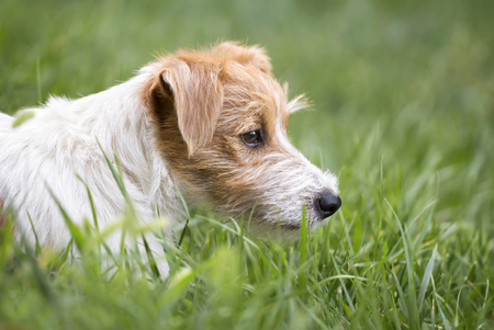 Furry lazy jack russell terrier - cute pet dog resting in the grass