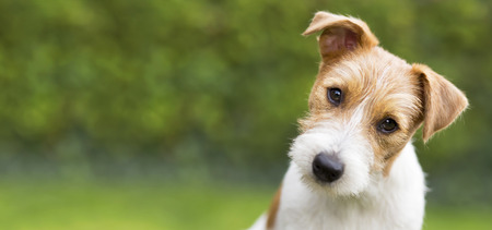 Funny head of a happy cute jack russell puppy pet dog