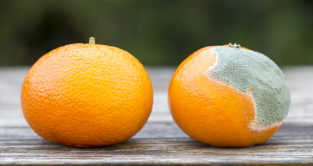 Fresh and moldy orange mandarin, fruit food web banner closeup