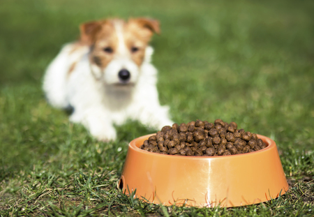 Dog pet feeding concept - cute hungry jack russell puppy waiting for his food