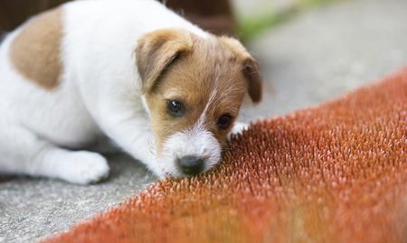 Naughty jack russell pet dog puppy mâchant un tapis de porte en plastique rouge Banque d'images