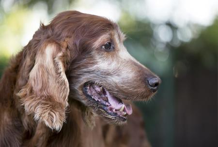 Face of an old beautiful Irish Setter pet dog as panting in summer