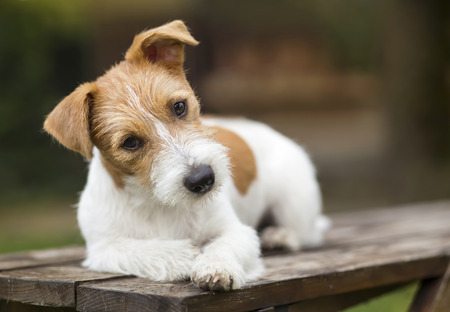 Cute happy small jack russell pet dog puppy thinking and listening with funny ears 写真素材