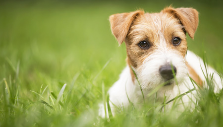 Face of a happy cute jack russell pet dog puppy as lying in the grass, web banner with copy space 写真素材