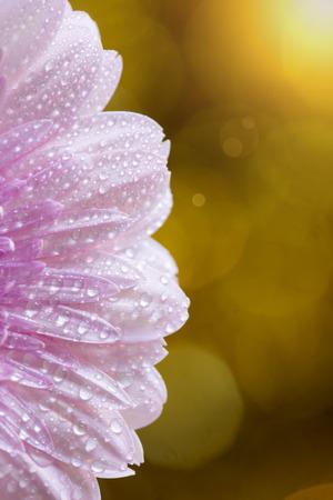 Vertical golden background of pink daisy gerbera flower petals, summer concept