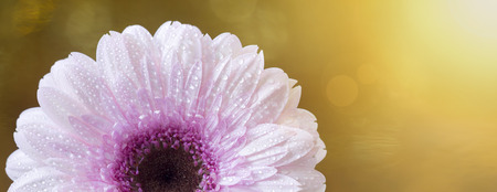 Web banner of a beautiful pink gerbera daisy summer flower on golden background with copy space
