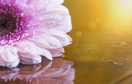 Summer, summertime concept - pink daisy flower on golden background