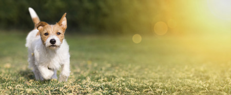 Spring, summer concept - cute happy jack russell pet dog puppy playing in the grass, web banner with copy space 写真素材