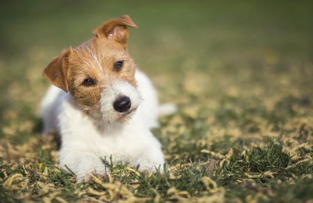 Healthy happy jack russell pet dog puppy listening in the grass with funny ears 写真素材