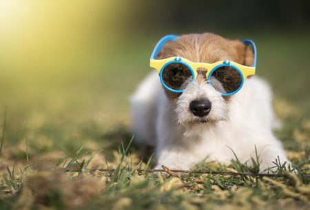 Funny jack russell pet dog wearing sunglasses, hot summer fun concept with copy space