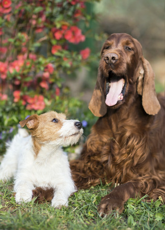 Happy pet dog friendship - cute jack russell puppy looking to his yawning setter friend