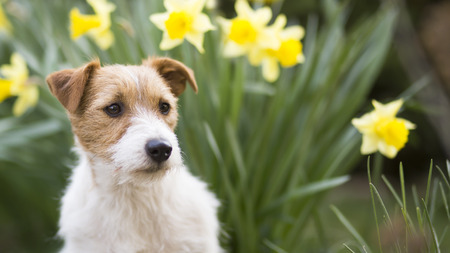 Cute jack russell pet dog puppy with daffodil easter flowers in spring, web banner