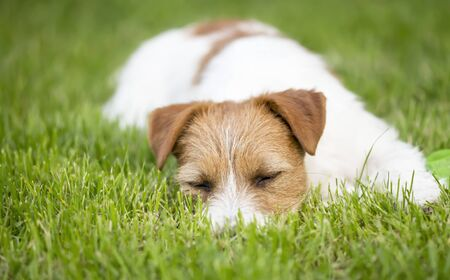 Resting dog, lazy cute jack russell pet puppy sleeping in the grass