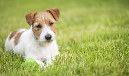 Lazy resting happy pet dog puppy laying in the grass, web banner, summer background with copy space