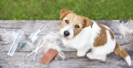 Pet grooming concept, web banner of a jack russell dog as sitting on the table with fur and equipments 写真素材