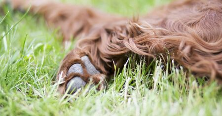 Paw and soft fur of a cute furry Irish Setter pet dog as resting in the grass, web banner