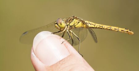 Beautiful yellow insect dragonfly resting on a finger, web banner 写真素材