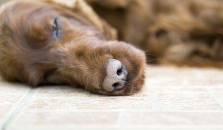 Resting pet, web banner of a lazy cute irish setter dog sleeping on the floor 写真素材