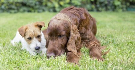 Pet relationship banner - happy puppy and adult dogs sniffing in the grass Banco de Imagens