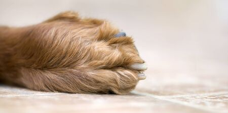 Furry paw and claws of an irish setter pet dog, web banner Banco de Imagens