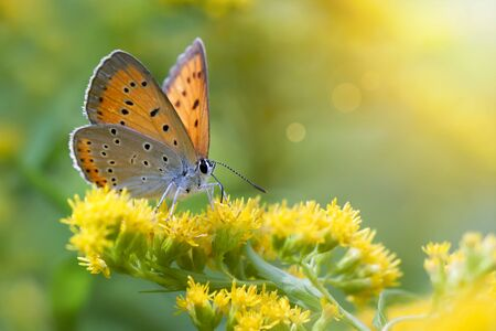 Orange sunny butterfly sitting on yellow flowers in summer 스톡 콘텐츠 - 128874248