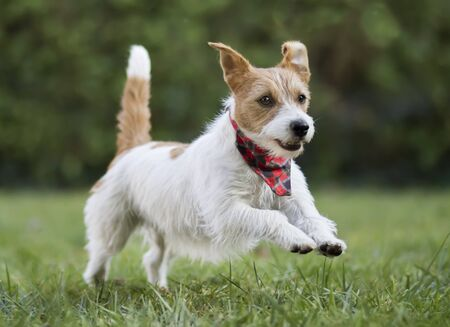 Small happy smiling pet dog puppy jumping in the grass and wearing a bandana scarf