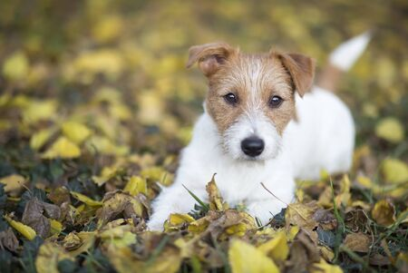 Autumn dog, cute small pet puppy looking in the colorful leaves and listening ears