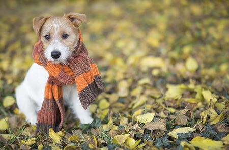 Autumn dog, cute pet puppy with scarf sitting in the colorful leaves  版權商用圖片